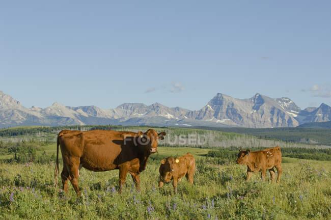 Rote Anguskuh mit Kälbern auf der Weide im Südwesten Albertas, Kanada — Stockfoto