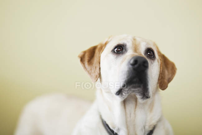 Yellow labrador retriever dog looking up indoors — Stock Photo