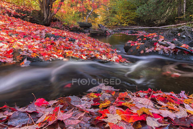 Madawaska River flowing through carpet of red maple leaves along Track and Tower trail in Algonquin Park, Canada. — Stock Photo