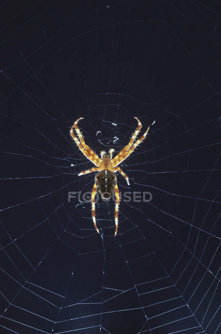 Spider on web against dark blue background. — Stock Photo