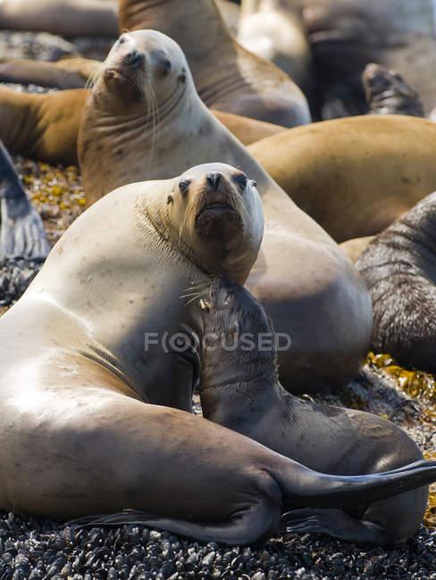 Звездная морских львов, отдыхая на скалах, Gwaii Haanas, Haida Gwaii, Британская Колумбия, Канада — стоковое фото