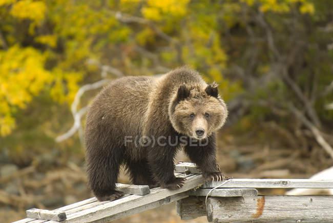 Orso grizzly in piedi sulla banchina di legno lungo il fiume Chilko, Columbia Britannica, Canada — Foto stock