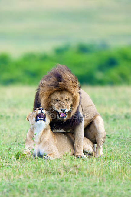 Mating lions in meadow of Masai Mara Reserve, Kenya, East Africa — Stock Photo