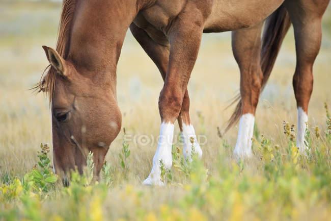 Pferd weidet auf der kanadischen Präriewiese, saskatchewan, canada. — Stockfoto