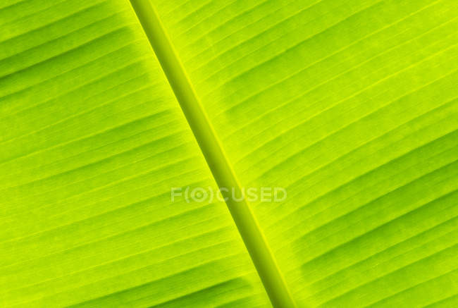 Close-up of green banana leaf, full frame - foto de stock
