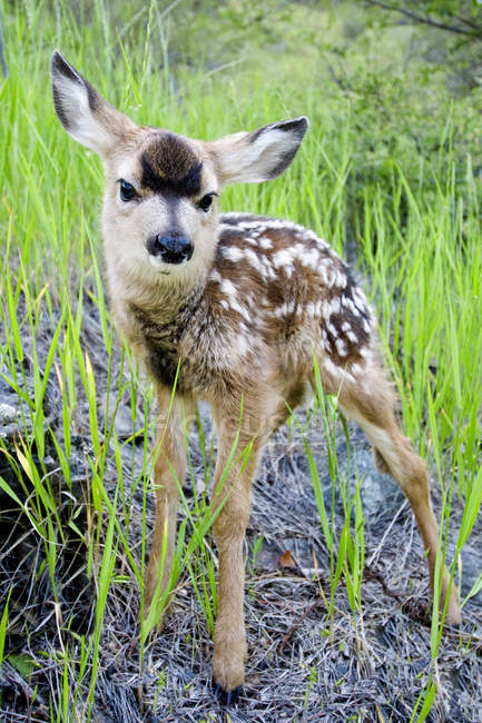 Veado-mula recém-nascido fulvo em pé na grama — Fotografia de Stock