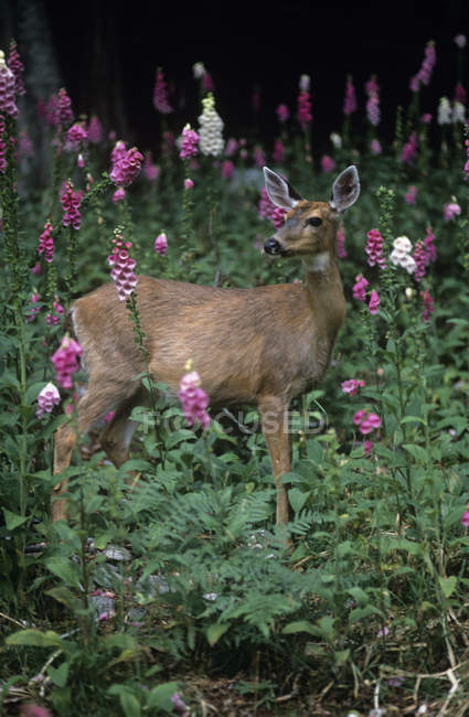 Blacktail deer on hillside of foxglove flowers — Stock Photo