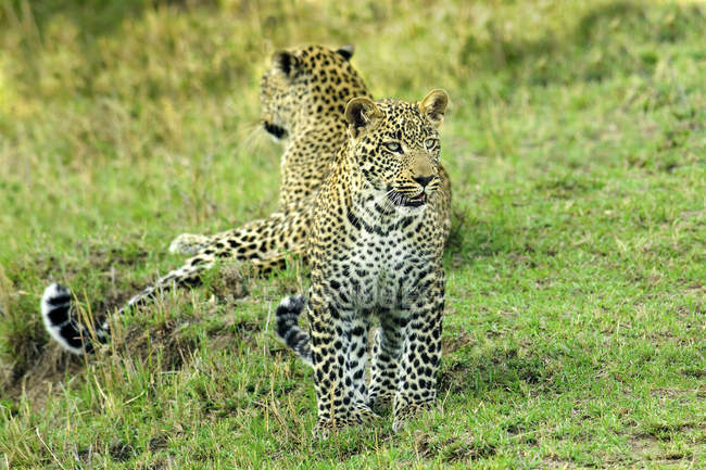 Two leopards standing alertly on green grass in Masai Mara Reserve, Kenya, East Africa — Foto stock