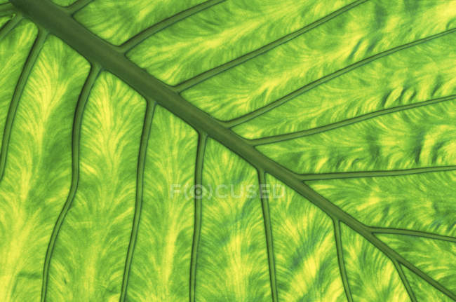Природные капустные листья капусты . — стоковое фото