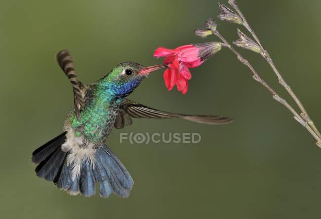 Broad-billed hummingbird revoloteando junto a flores y alimentación en bosque tropical. - foto de stock