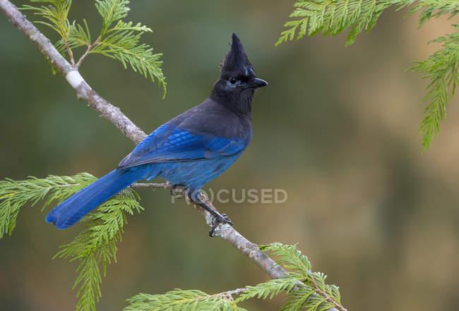 Geai de Steller à plumes bleues perché sur un conifère . — Photo de stock