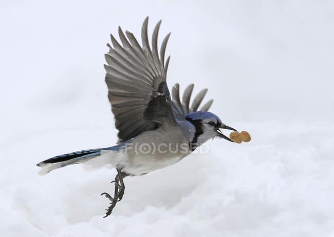 Голубая сойка птица, перевозящих гайка летя на открытом воздухе. — стоковое фото