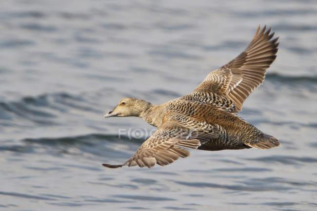 Volo sopra la superficie dell'acqua dell'oca di edredone comune — Foto stock