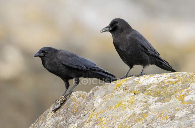 Dos cuervos noroeste encaramados en la roca musgo. - foto de stock