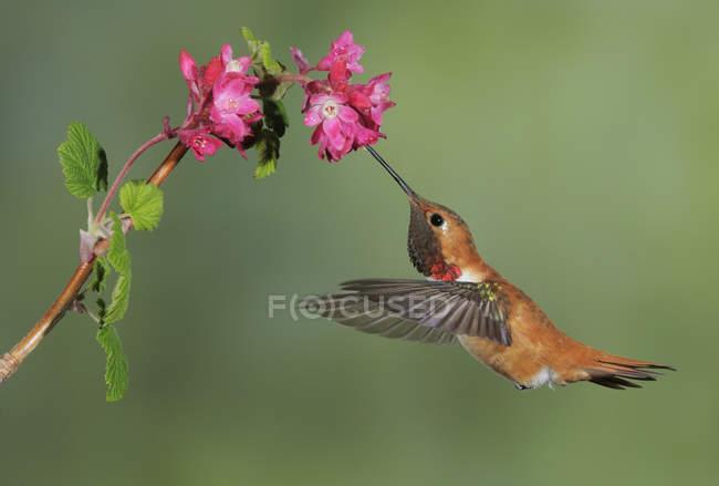 Colibri roux mâle s'alimentant à fleur en plein air, gros plan. — Photo de stock