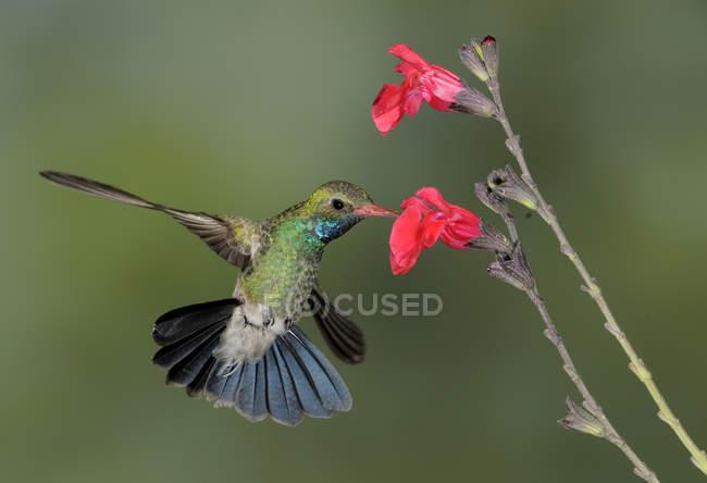 Выставлен счет широкой колибри, зависший рядом с цветами в тропиках. — стоковое фото