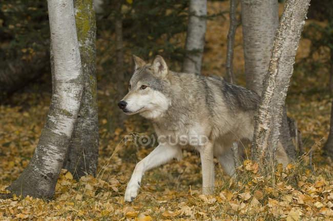 Волк, ходить в осенние осинами, Монтана, США. — стоковое фото