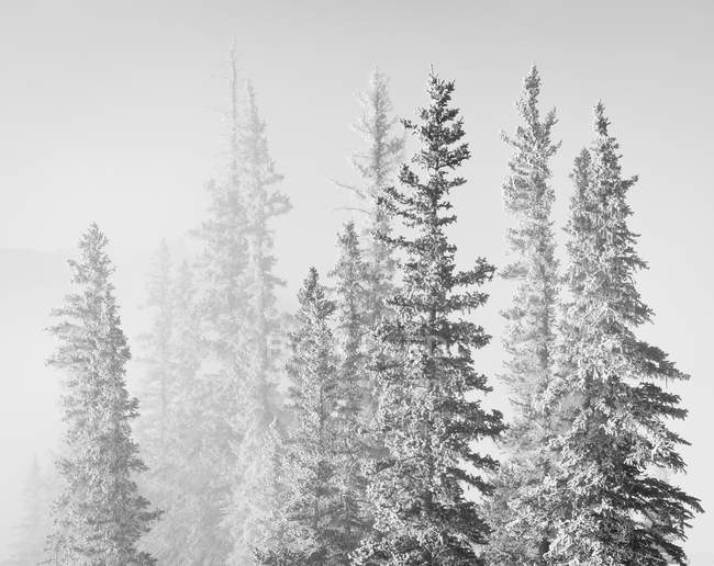 Spruce trees covered in frost at Bighorn Dam, Bighorn Wildlands, Alberta, Canada — Stock Photo