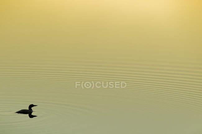 Гагара плаває в озеро при сходом сонця, Algonquin Провінційний парк, Онтаріо, Канада. — стокове фото