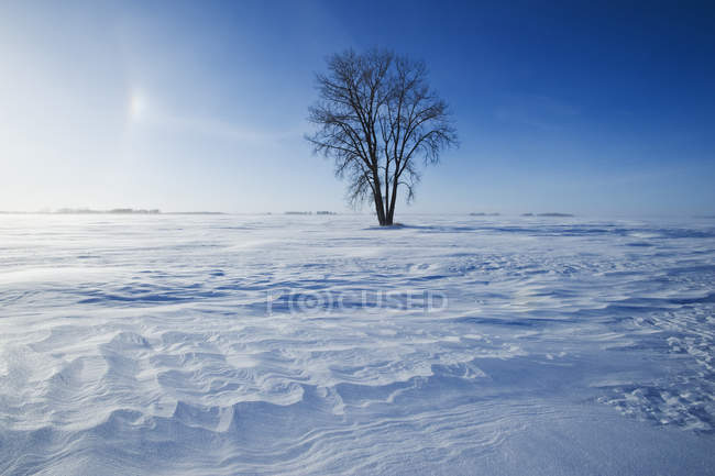 Cottonwood tree in snow covered field near Dugald, Manitoba, Canada — стоковое фото