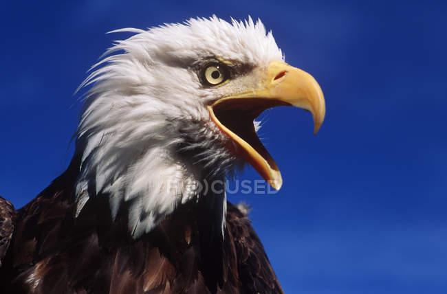 Águila calva con pico abierto al aire libre. - foto de stock
