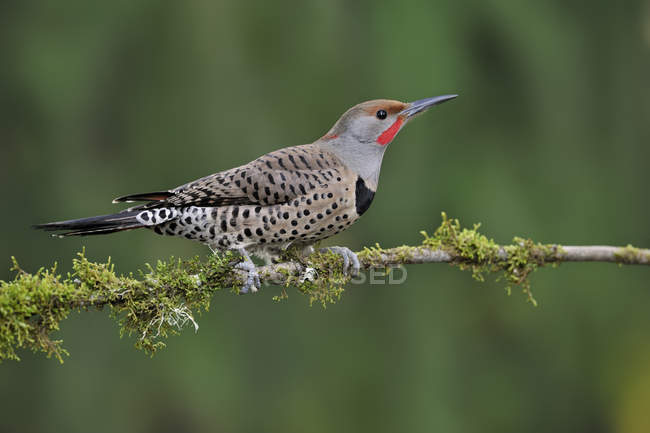 Red-shafted northern flicker perched on mossy branch in woodland. — Stock Photo