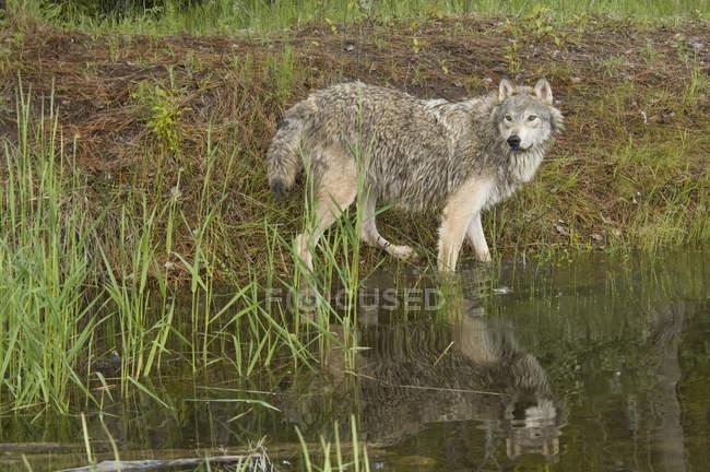 Волк стоя возле края пруда в Вудлэнде. — стоковое фото