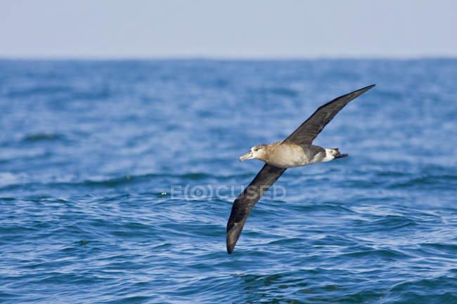 Aves Albatros volando sobre el agua de mar en Washington, Estados Unidos. - foto de stock