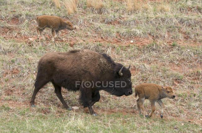 Wilde amerikanische Bisons mit neugeborenen Kälbern, die im Windhöhlen-Nationalpark wandern, South Dakota, USA. — Stockfoto