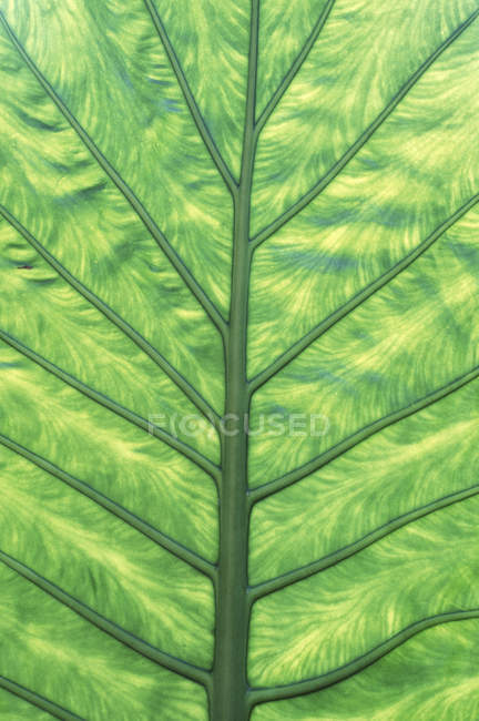 Natural skunk cabbage leaf pattern detail. — Stock Photo