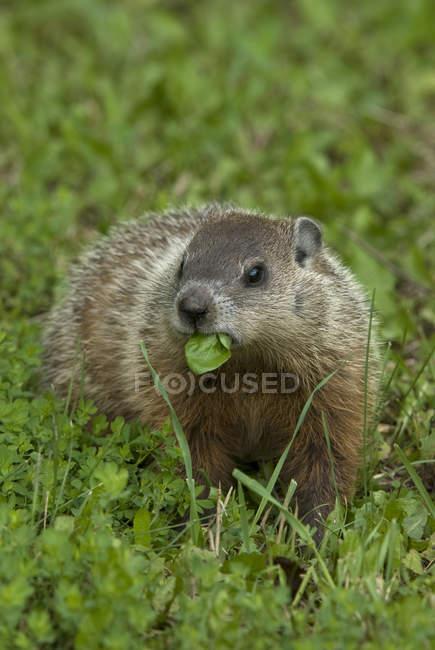Groundhog feeding in green summer meadow, Ontario, Canada — Stock Photo