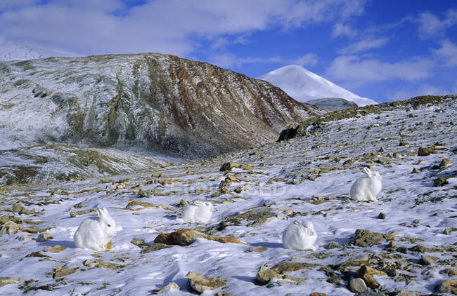 Resting arctic hares on northern Ellesmere Island, Arctic Canada — стоковое фото