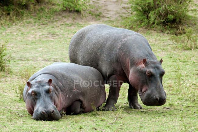 Обыкновенные бегемоты греются на зеленом лугу в заповеднике Масаи Мара, Кения, Восточная Африка — стоковое фото