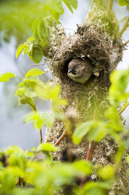 Bushtit uccello guardando fuori dall'albero nidificano nel parco — Foto stock