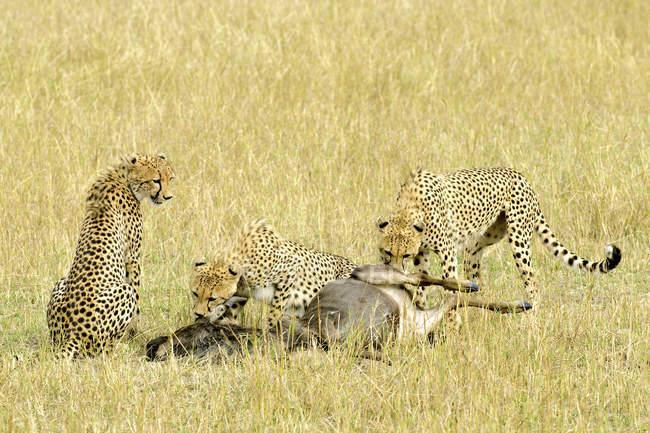 Cheetahs eating wildebeest prey in meadow of Masai Mara Reserve, Kenya, East Africa — Foto stock