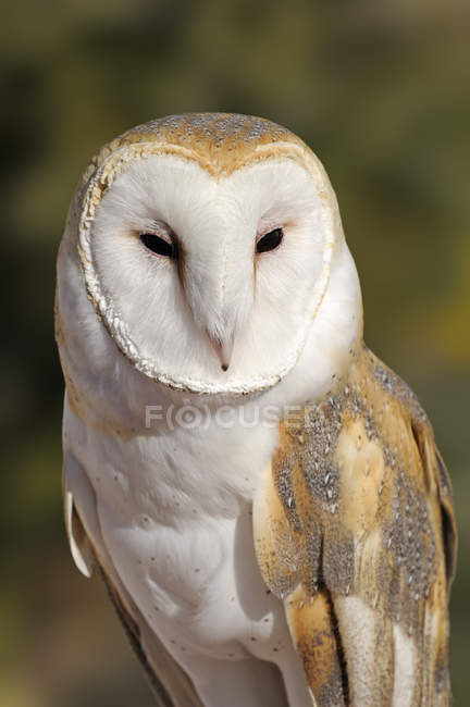 Portrait of wild barn owl outdoors. — Stock Photo
