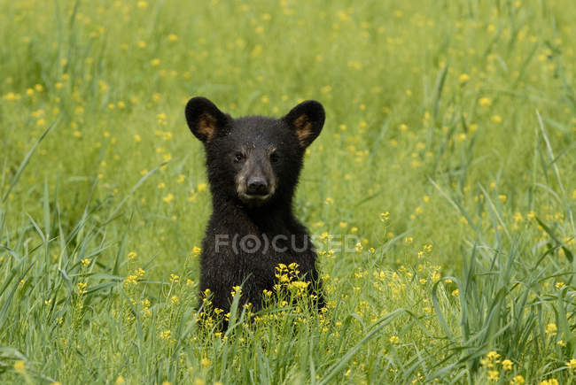 Black bear cub standing in summer flowery meadow grass. — Stock Photo