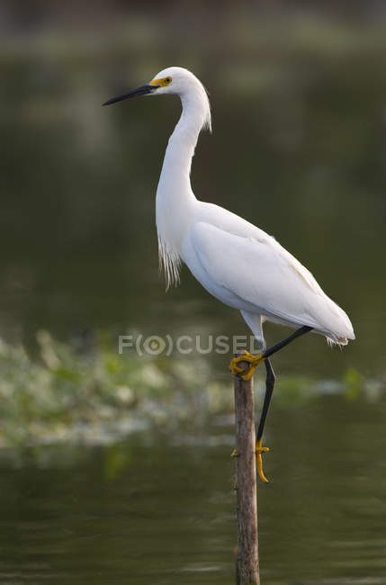 Snowy egret standing on wooden pole in lake water — Stock Photo
