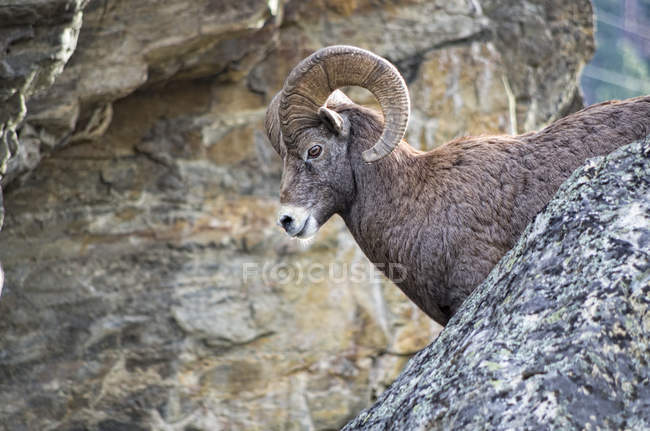 Bighorn sheep ram standing in rocks, side view. — Stock Photo