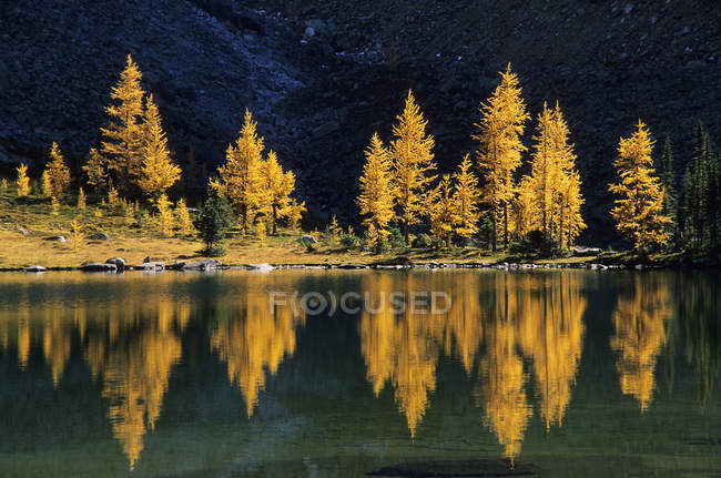 Larches in autumnal foliage at Lake OHara, British Columbia, Canada. — Stock Photo