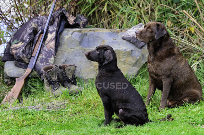 Chocolate labradors by shotgun and camouflage jacket and boots, Duncan, British Columbia, Canada. — Stock Photo