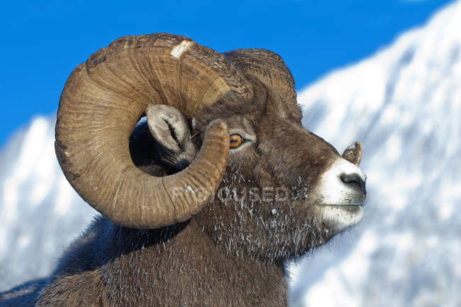 Bighorn sheep ram with frost-covered muzzle in Jasper National Park, Alberta, Canada — Stock Photo