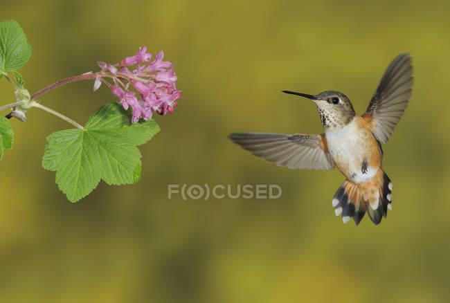 Femelle Colibri roux s'alimentant à fleur en plein air, gros plan. — Photo de stock