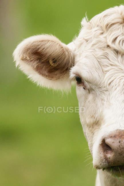 Charolais Kuh vor grünem Hintergrund, Porträt. — Stockfoto