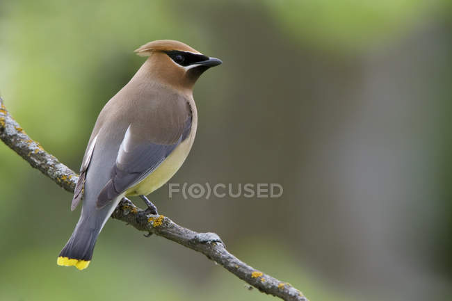 Beccofrusone dei Cedri uccello appollaiato sulla filiale nella foresta — Foto stock