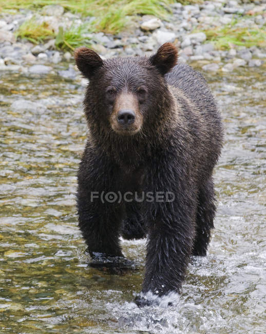 Grizzly bear standing and hunting in spawning stream of Fish Creek in Tongass National Forest, Alaska, United States of America. — стокове фото
