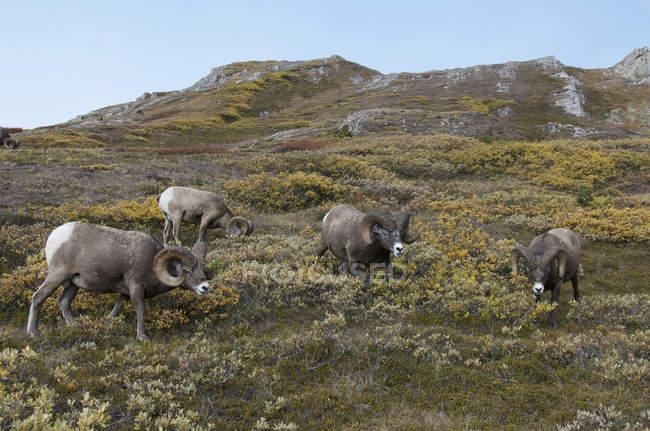 Bighorn овец Баранов выпаса на альпийские горы в национальном парке Джаспер, Альберта, Канада. — стоковое фото