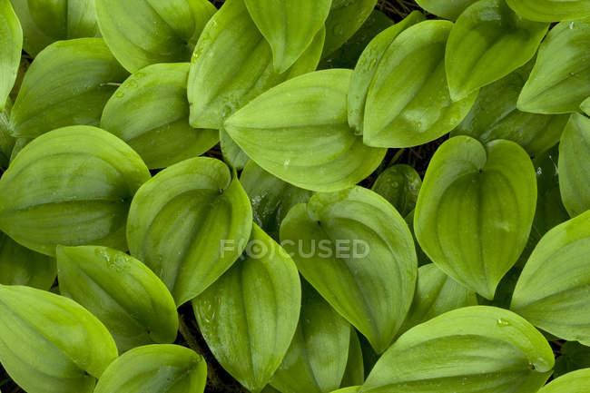 Aglomerado de folhas verdes brilhantes, quadro completo — Fotografia de Stock
