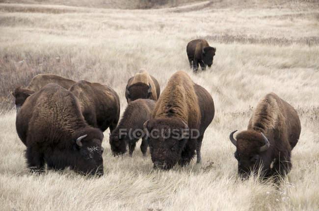 Bisontes americanos no habitat de pradaria de grama do Parque Nacional de Wind Cave, Dakota do Sul, Estados Unidos da América. — Fotografia de Stock