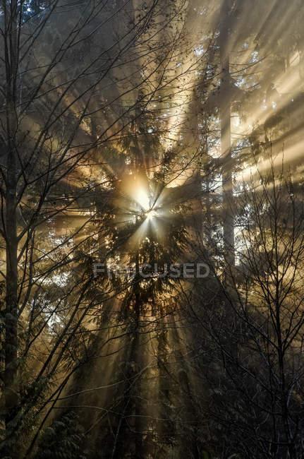 Sunburst através de árvores de Mount Seymour Provincial Park, British Columbia, Canadá — Fotografia de Stock